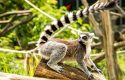 Hewan Asli Madagaskar ini Hadir di Royal Safari Garden