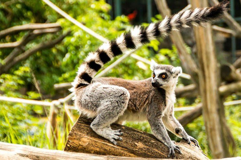 Lemur Royal Safari Garden